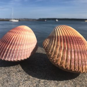 Brown Cockle Shells