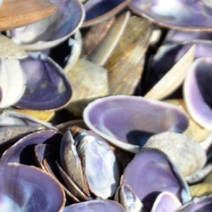 Cay Cay Purple Clam Shells (1kg)