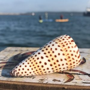 Spotted Conus Shell