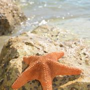 Tiger Starfish